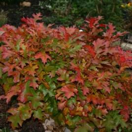 Quercus palustris 'Green Dwarf' – gömb mocsári tölgy