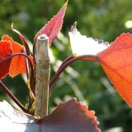 Populus deltoides 'Fuego' – vörös lombú nyárfa