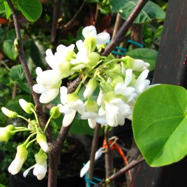 Cercis siliquastrum v.alba – fehér virágú júdásfa
