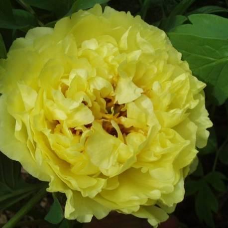 paeonia_yellow_crown