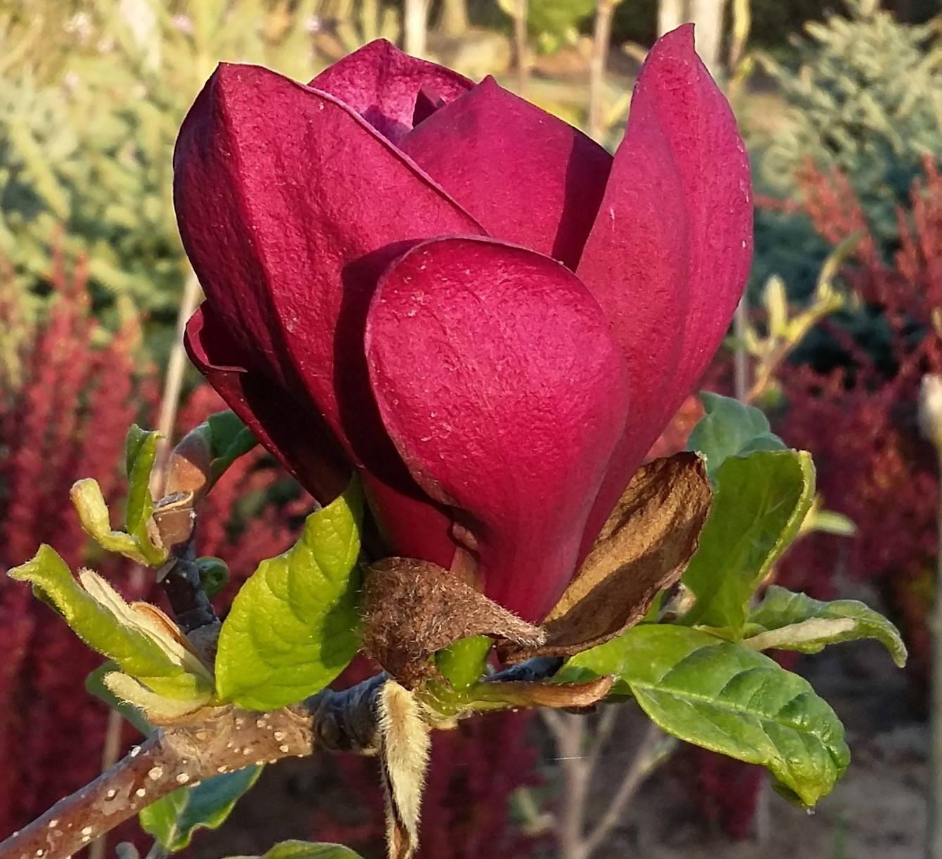 Magnolia   x       Genei  –     Zseni  liliomfa   (törzsre oltott)