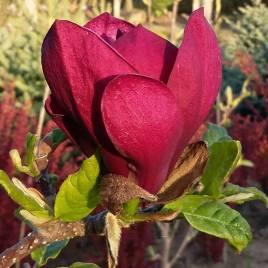 Magnolia   x       Genei  –     Zseni  liliomfa   ÚJ!
