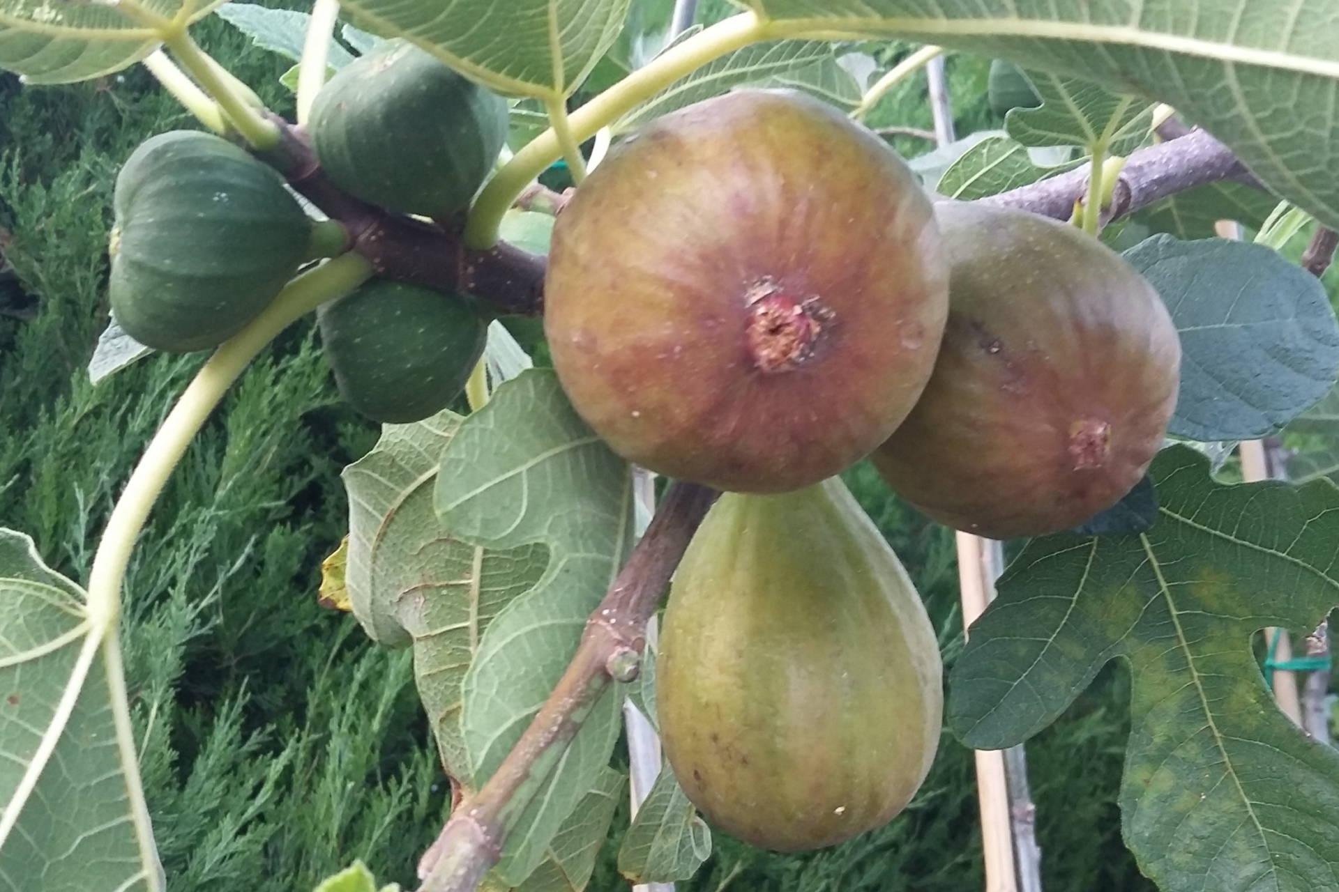 Ficus carica  –  füge