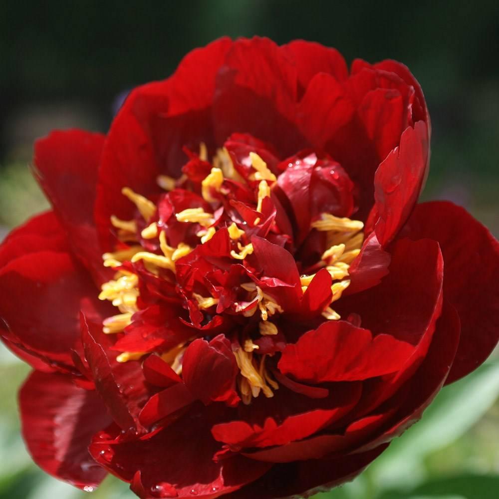 Paeonia  lactiflora 'Buckeye Belle' – sötét bordó pünkösdi rózsa ÚJDONSÁG!