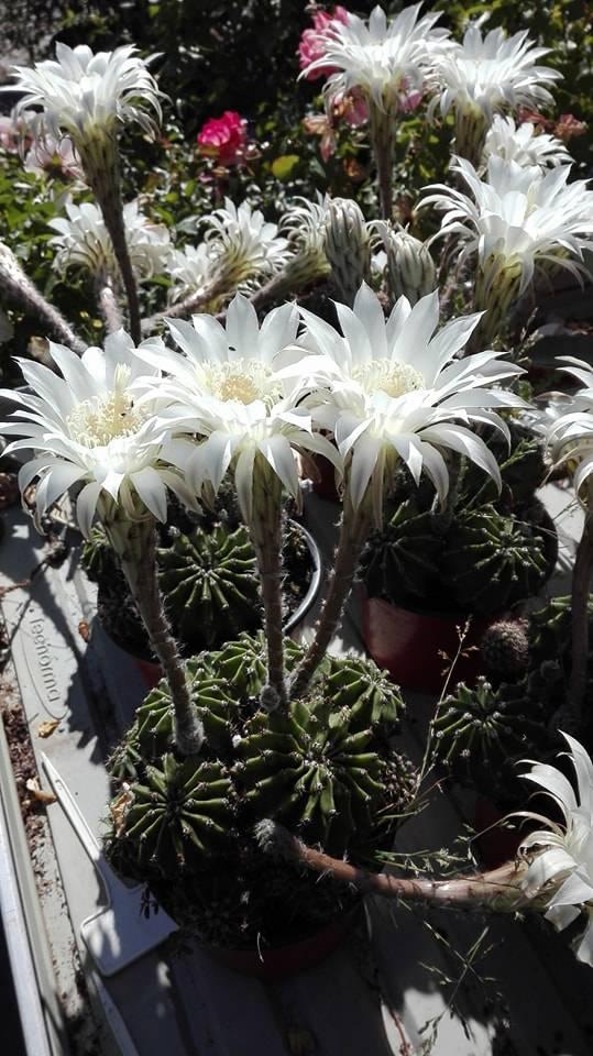 Hidegházi kaktusz