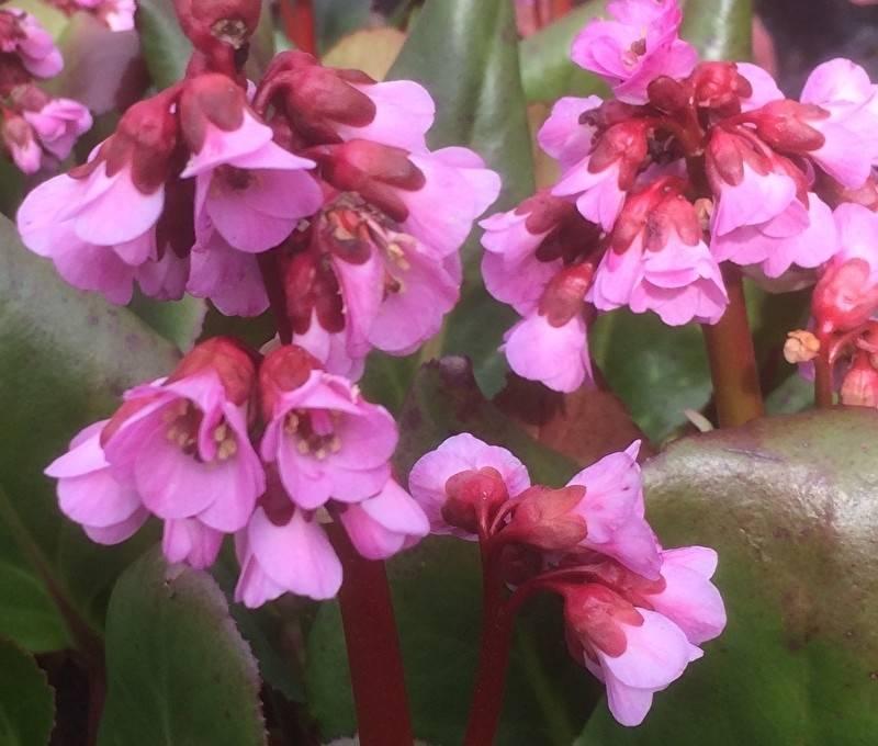 Bergenia  x 'Spring Fling'  –  Spring Fling hibrid bőrlevél Újdonság!