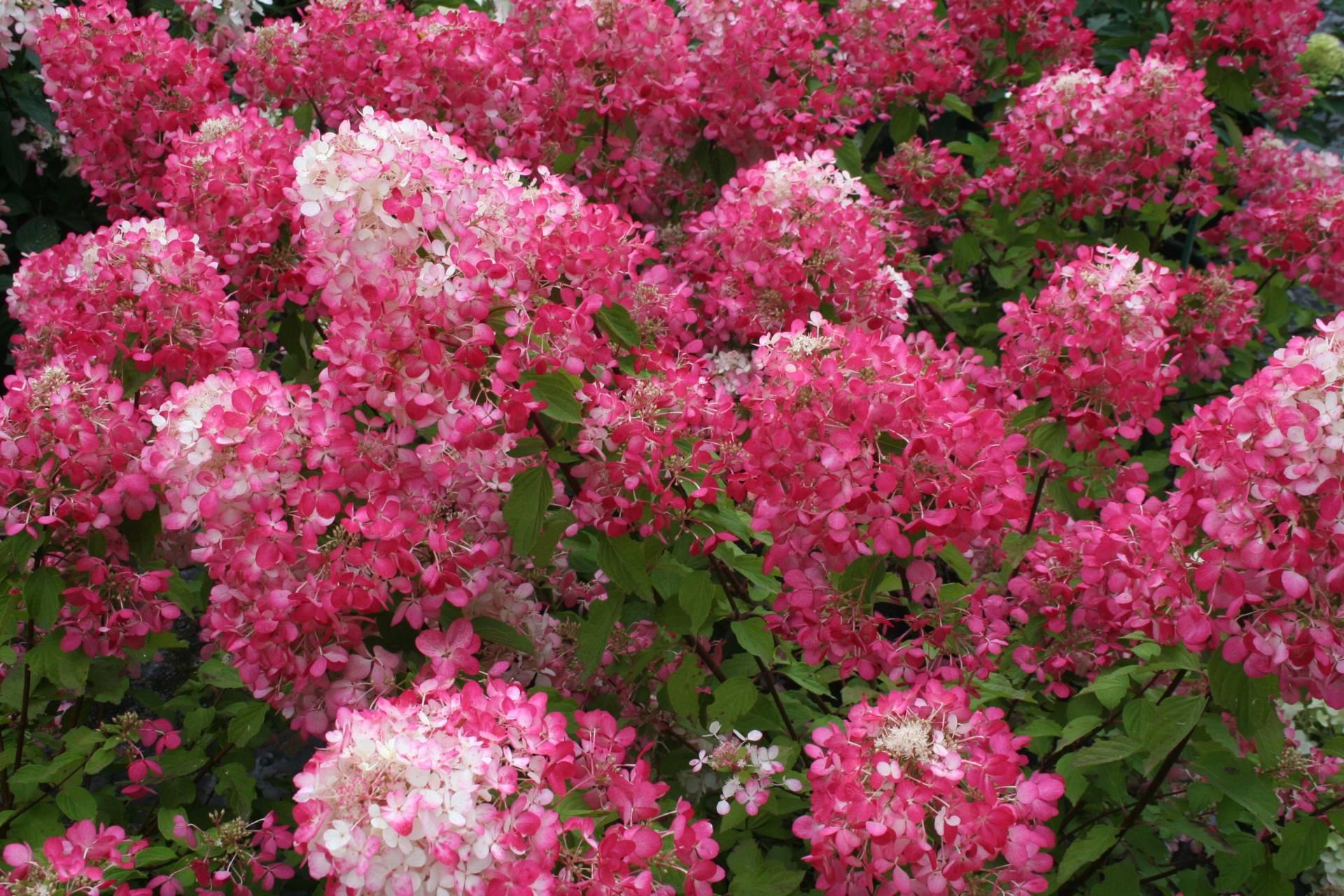 Hydrangea paniculata 'Diamant Rouge' –  Diamant Rouge  bugás hortenzia ÚJDONSÁG!