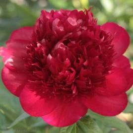 Paeonia 'Red Charm'  –   Red Charm pünkösdirózsa