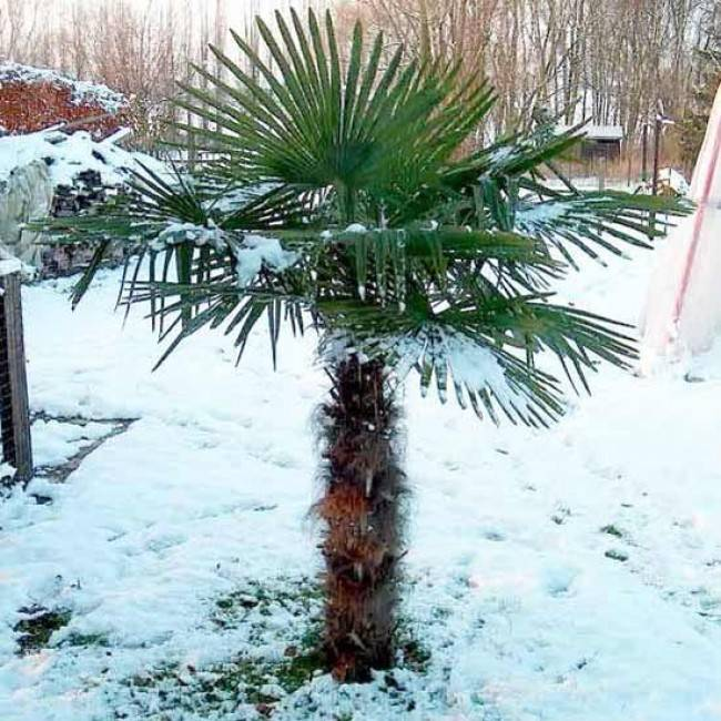 Trachycarpus fortunei – Kínai télálló kenderpálma