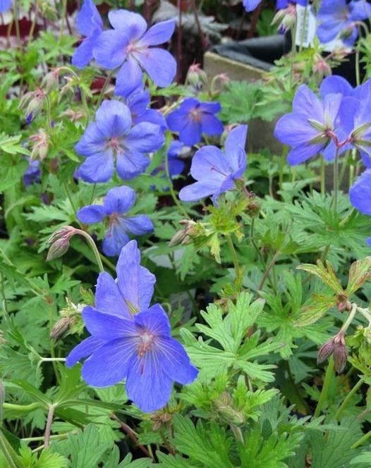 Geranium  x 'Johnsons  Blue'- 'Johnsons Blue ' hibrid gólyaorr