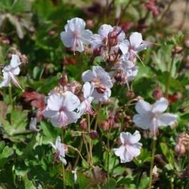 Geranium x cantabrigiense 'Biokovo' –  'Biokovo ' angol gólyaorr