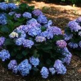 Hydrangea macrophylla 'Little Blue' – Little Blue hortenzia  Újdonság!
