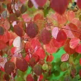 Cercidophyllum japonica – japán kacsura fa – Újdonság!