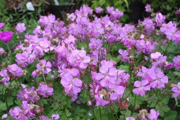 geranium x cantabridgenses Camridge'