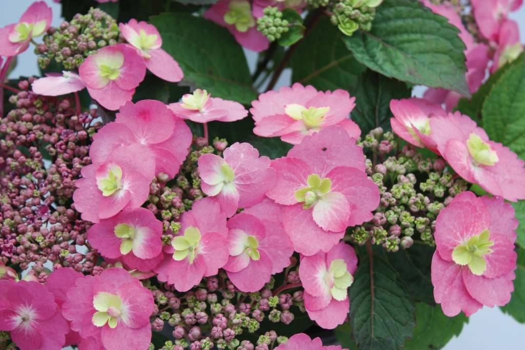 Hydrangea serrata 'Cotton Candy' – Cotton Candy  hortenzia