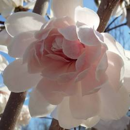 Magnolia  stellata 'Wildcat' – Wildcat telt virágú liliomfa