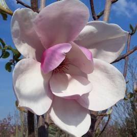 Magnolia x ' Tikitere' –  Tikitere  liliomfa  ÚJDONSÁG!