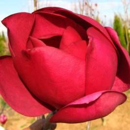Magnolia x 'Black Tulip' – Black Tulip liliomfa