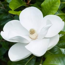 Magnolia grandiflora – nagyvirágú örökzöld liliomfa