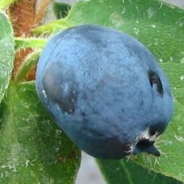 Lonicera coerulea – Kamcsatkai mézbogyó