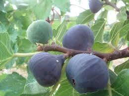 Ficus carica 'Violette de Sollies'  –   'Violette  de sollies'  kék füge