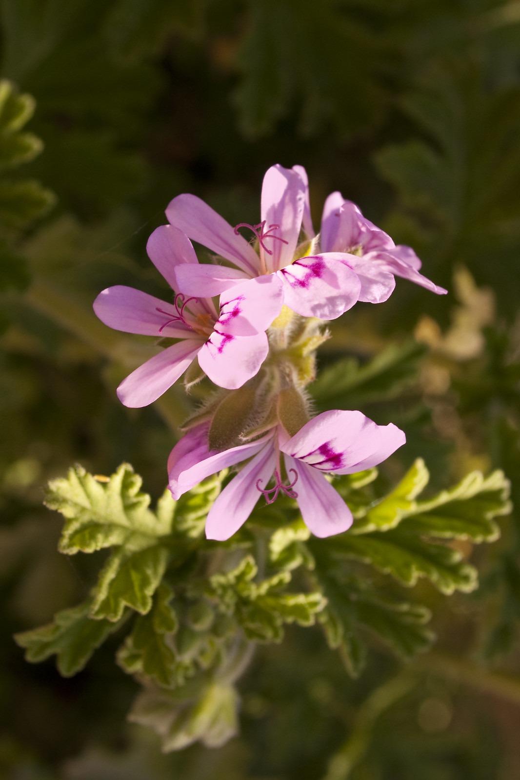 Pelargonium odoratissimum
