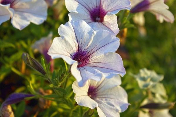 Petúnia gondozása – Részletes útmutató