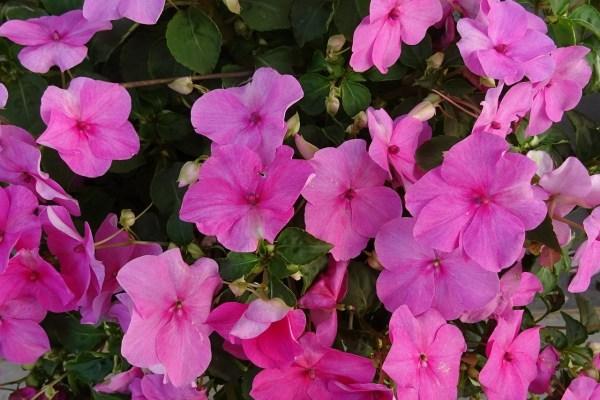 Nebáncsvirág (pistike) gondozása – Részletes útmutató