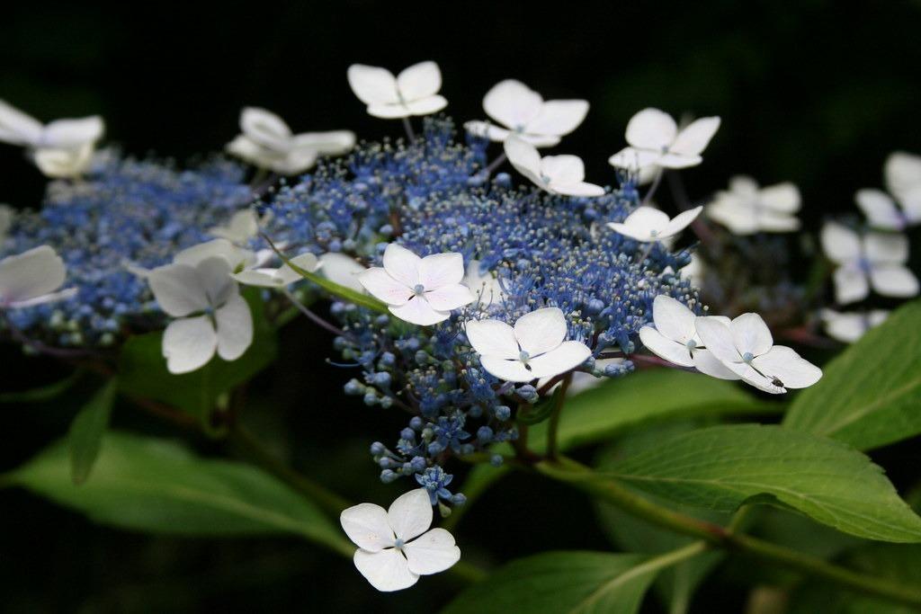 fűrészeslevelű hortenzia