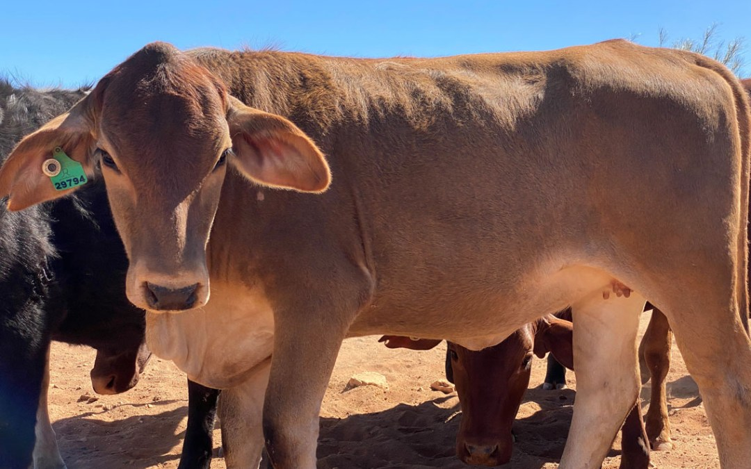 Understanding the different phosphorous sources for cattle supplementation