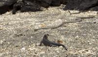 14-iguana-snakes