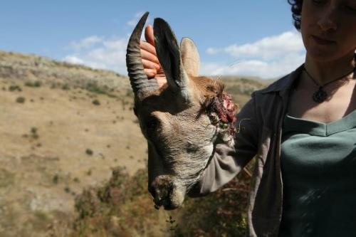 Armenia -- Environmental activist Mariam Sukhudian holds up the torn head of a bezoar goat, Khosrov reserve, 18Sep2012