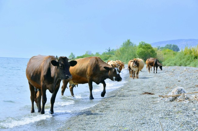 Cows on the shore of lake Sevan