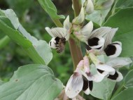a bee pollinating a broad bean flower