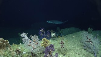 A sixgill shark amidst a deep-sea coral garden. Photo credit: NOAA's Office of Ocean Exploration and Research