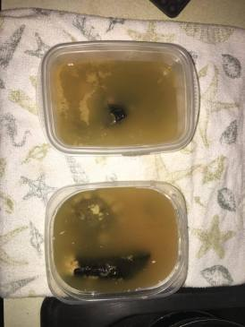 Here are my fossils in their vinegary soup.