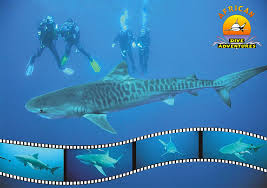 African Dive Adventures-tiger shark-proteabanks