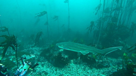Cow sharks and Cape Fur Seals False Bay