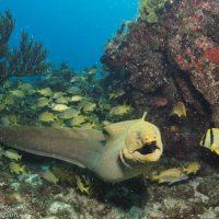 Moray eel - Cuba - Cayo Largo diving
