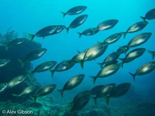 Striped bream - fish life in Gozo