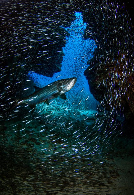 Diver Dena's Adventure Shop~Tarpon and Atlantic Silversides in Devil's Grotto, Grand Cayman