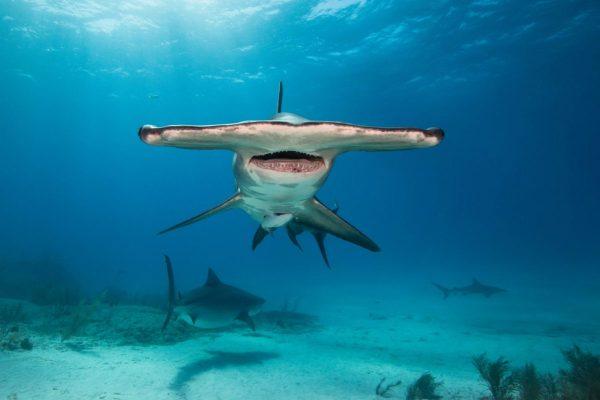 Diver Dena's Adventure Shop~Underwater Image of Hammerhead Shark