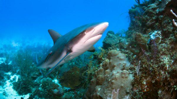 Diver Dena's Adventure Shop~Caribbean Reef Shark at Jardines de la Riena, Cuba
