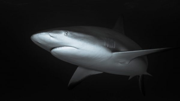Diver Dena's Adventure Shop~Caribbean Reef Shark -Tiger Beach, Grand Bahama