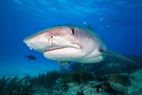 Diver Dena's Adventure Shop~ tiger shark