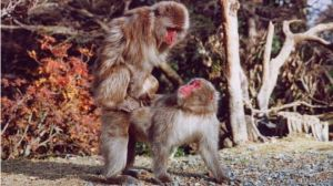 Cientistas notaram que fêmeas do macaco japonês buscam prazer com outras fêmeas