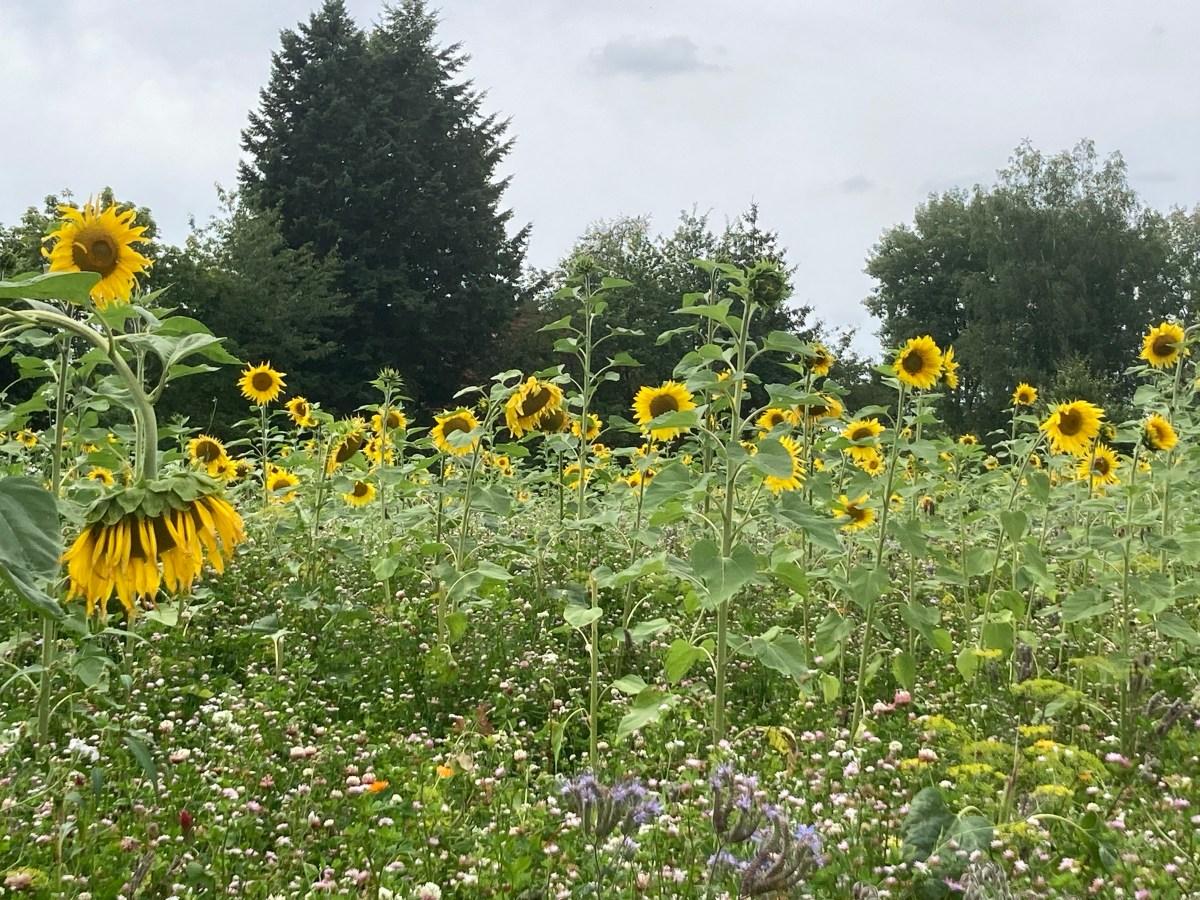Sonnenblumen Gruppentreffen