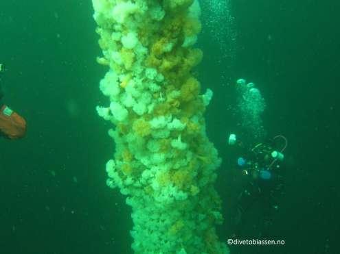 Anemoner langs masten