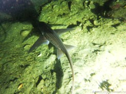 Havmus svømmer over bunnen under et nattdykk