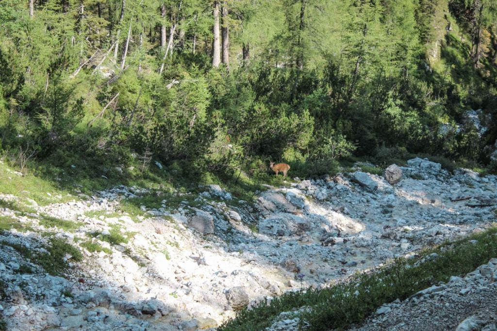 Ciervo cerca del sendero hacia el Lago Sorapis